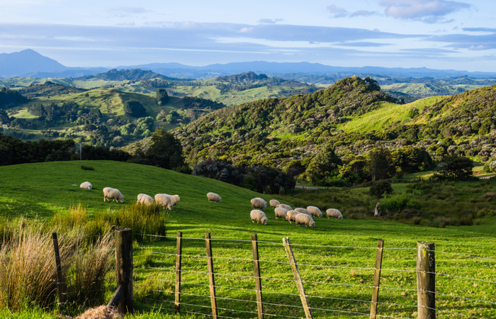 New-Zealand-sheep