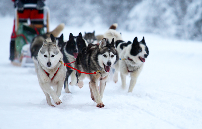 Dog-sledding in Finland.