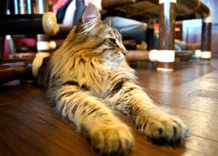 Charlotte On The Cheap >> Cat Cafes: The Newest Trend Coming from Tokyo | Travel ...