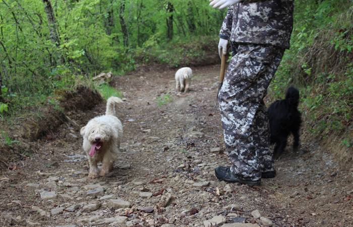 Karlic's highly skilled (and adorable!) truffle-hunting dogs.