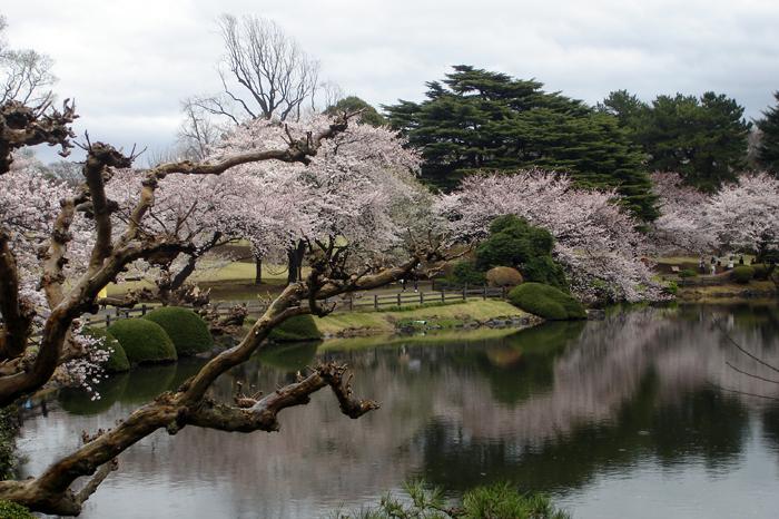 Tokyo_cherry_blossom_where_to_visit