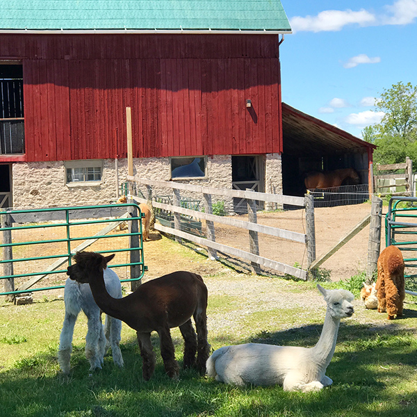 Alpacas at Shed at Chetwyn Farms